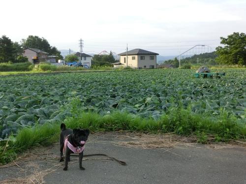 120815キャベツ畑