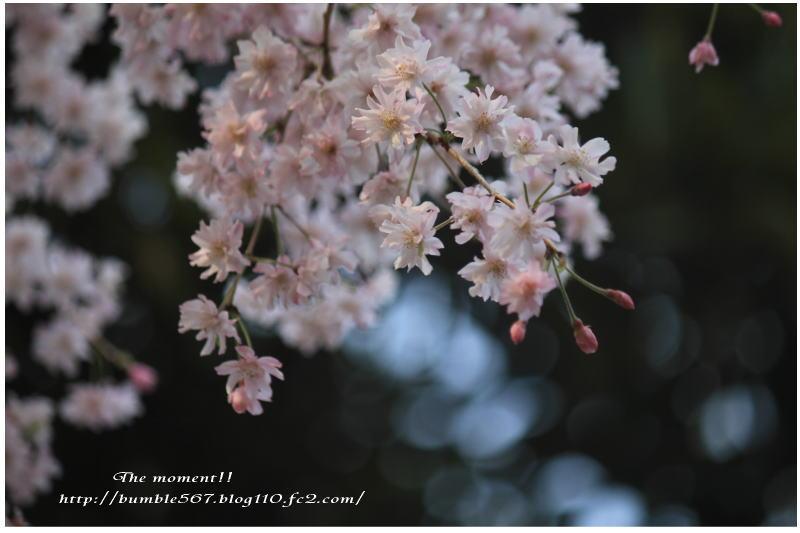 2013枝垂れ桜