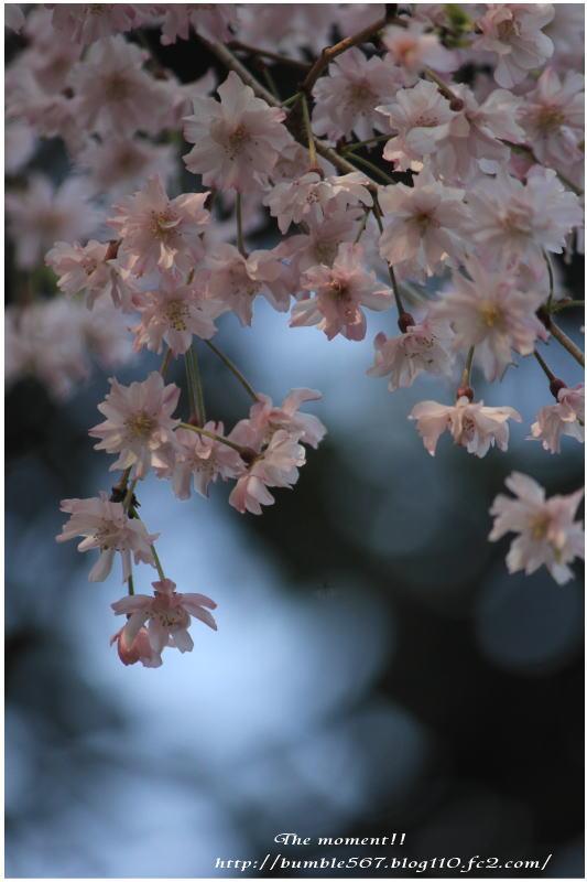 2013枝垂れ桜1