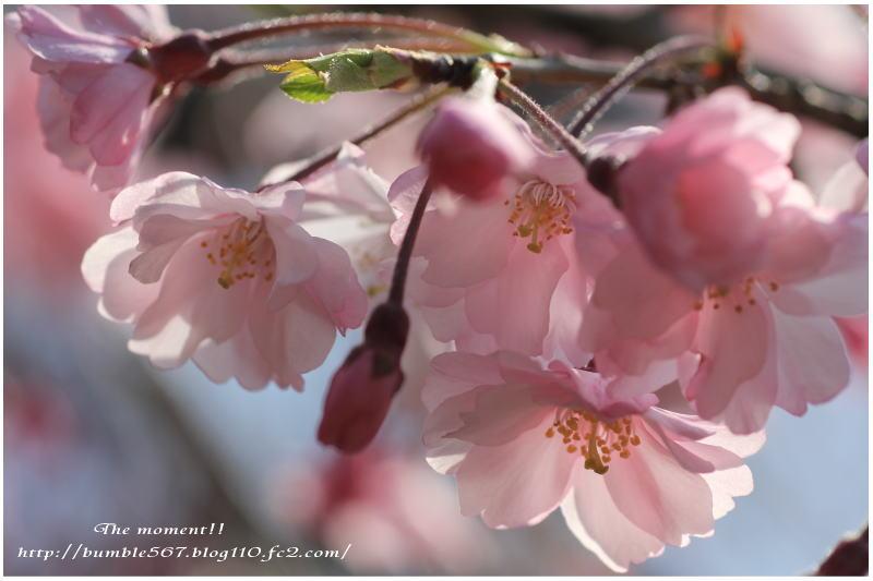 2013枝垂れ桜マクロ1