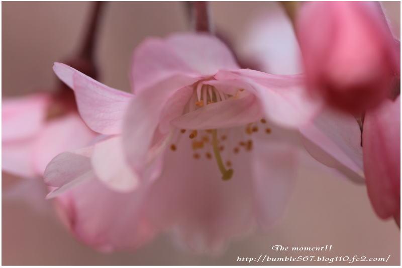 2013枝垂れ桜マクロ