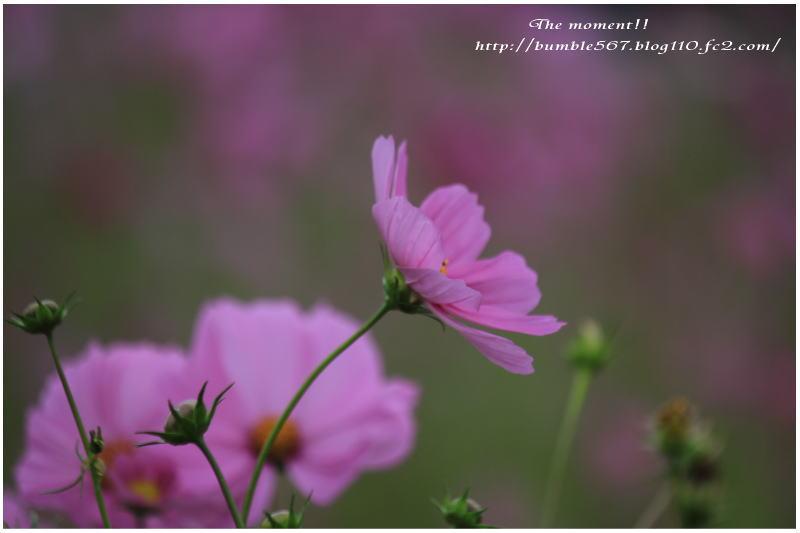 2013秋桜