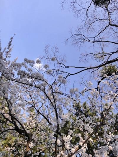 BBQ 桜枝