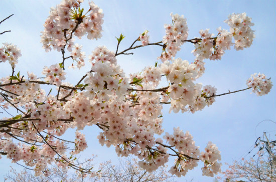 2013.03.31桜1