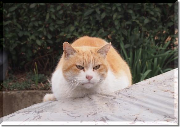 海老蔵みたいな猫