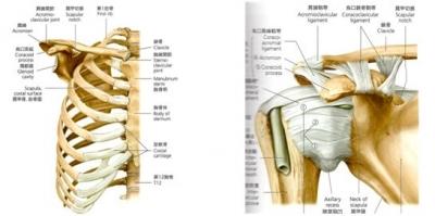 肩甲帯の関節構造