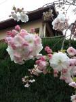 八重桜_NEW