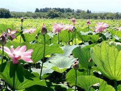 瓢湖の蓮の花