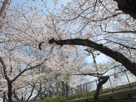 枝垂れ桜 おCHA会 010