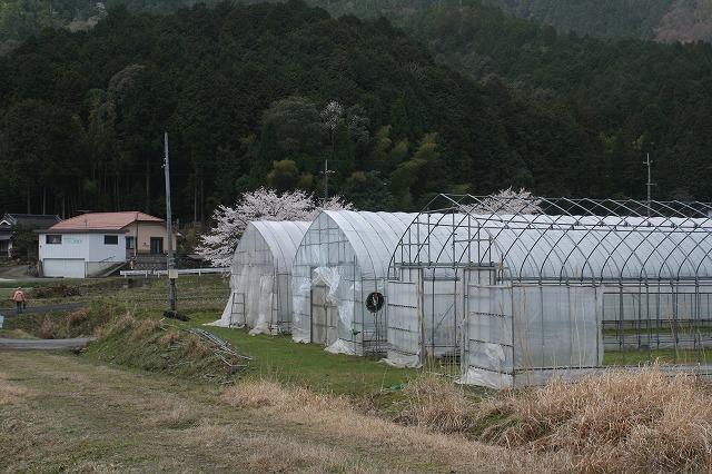 水稲苗のハウス