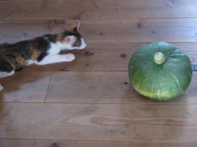 かぼちゃにビビる