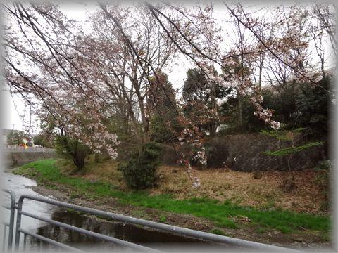 川沿いにて桜