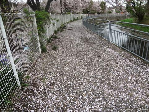 桜のじゅうたんみたい