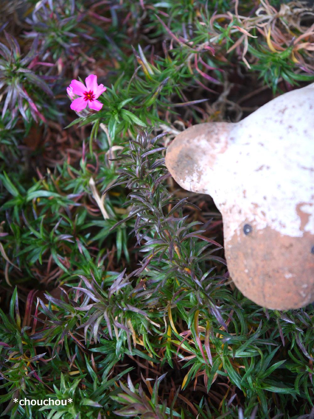 庭 芝桜2