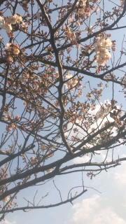 カルロスの桜2012