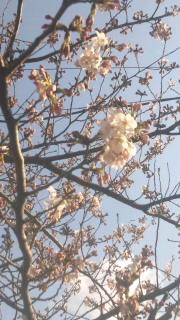 2カルロス桜