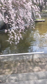 しだれ桜 120410