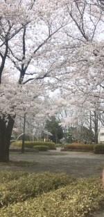 満開桜 公園にて
