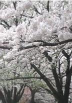 120410公園の桜満開