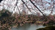 桜の風景3