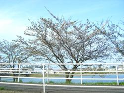葉桜2013
