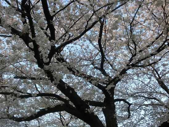 五度目の桜