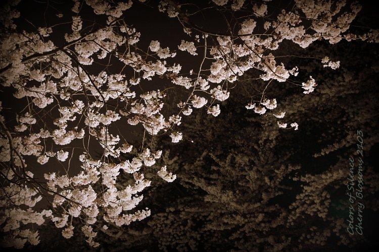 1-2013-03 cherry blossom-1
