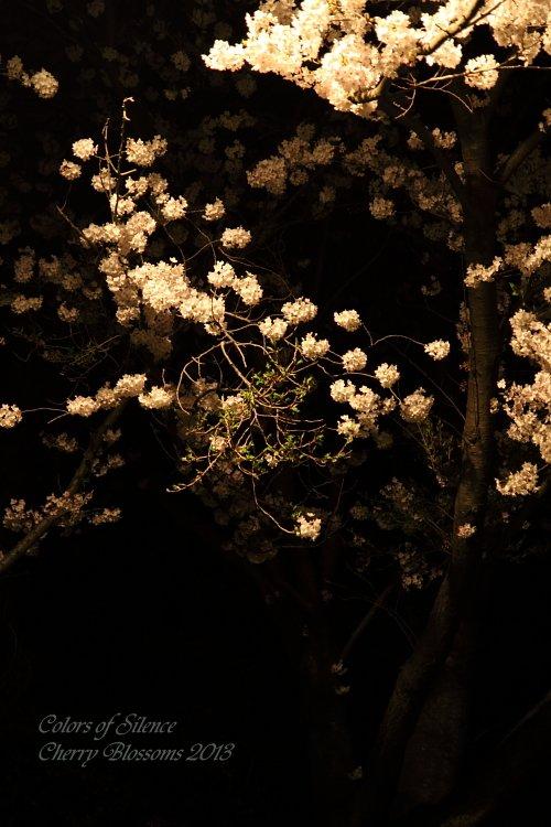 1-2013-03 cherry blossom-2