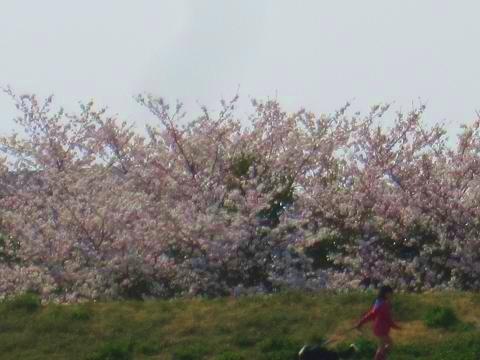 土手の桜も満開だ