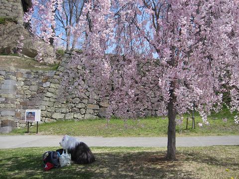 2枝垂れ桜が綺麗です