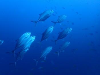 タオ島、ニタリクジラ