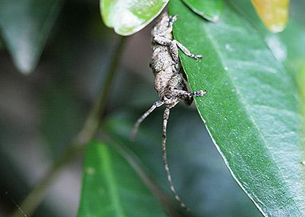 トガリシロオビサビカミキリ