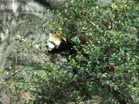 レッサーパンダ