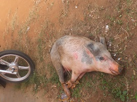この豚を食べました