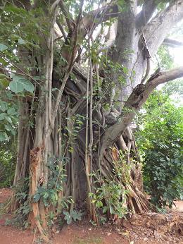 聖なる木です