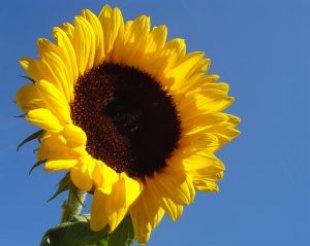 flower_sunflower_summer_248053_l.jpg