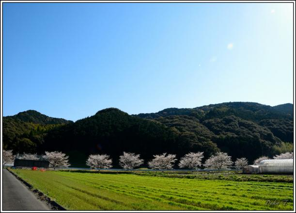 2012年4月7日琴海桜 (26)