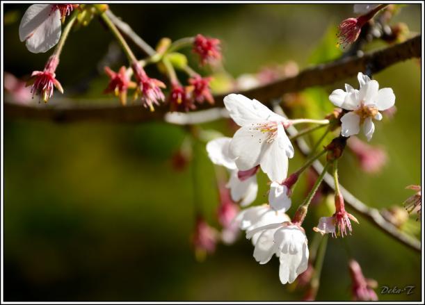 2012年4月7日琴海桜 (22)