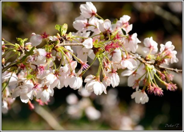 2012年4月7日琴海桜 (11)
