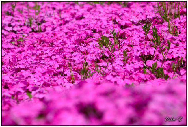 2012年4月15日しまばら芝桜公園、霊丘神社 (10)