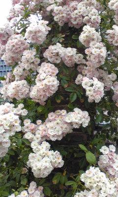 nakanosima_rose0525_2013_2.jpg