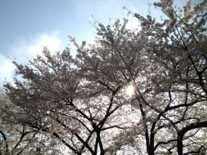 浅草寺のさくら