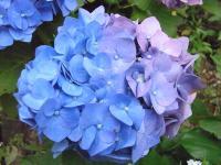 グラデーション紫陽花
