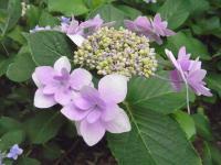 隅田の花火(紫)