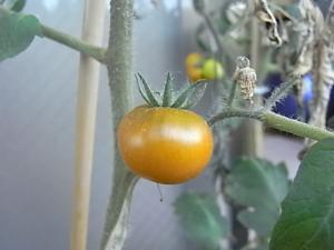 赤くなったグリーントマト2