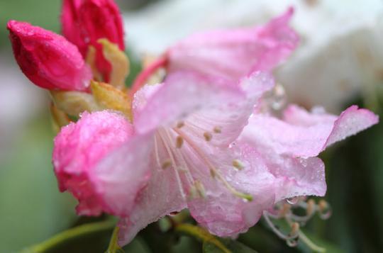 2011.05.24-石楠花-1