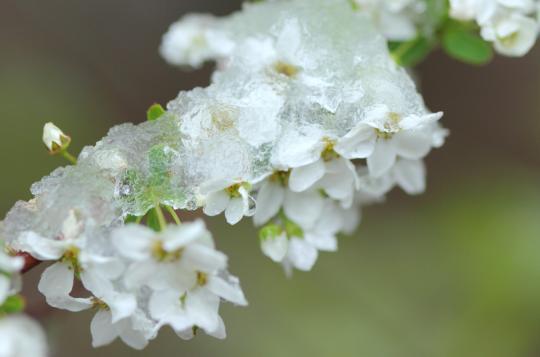 2011.05.24-雪雪やなぎ-12