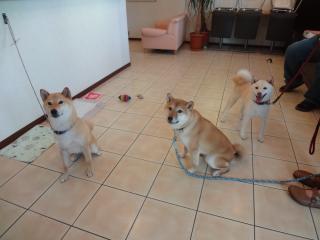 柴犬3人衆(笑)