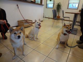 柴犬3人衆♪