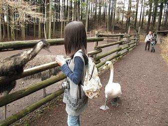 IMG_花鳥園 白鳥8